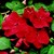 Impatiens: Impatiens Walleriana, 'Blitz 3000™ Red'
