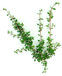 Thyme, Woolly Creeping