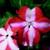 Impatiens: Impatiens Walleriana, 'Jambalaya™ Coral Star'