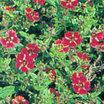 Perennials_potentilla_atrosanguinea_x_gibson_s_scarlet-1.thumb