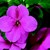 Impatiens_impatiens_walleriana_jambalaya_tm_deep_pink-1.small