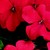 Impatiens_impatiens_walleriana_jambalaya_tm_deep_red-1.small