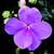 Impatiens_impatiens_walleriana_jambalaya_tm_lavender-1.small