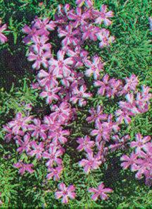 Phlox, Moss 'Emerald Pink'