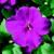 Impatiens_impatiens_walleriana_jambalaya_tm_lilac-1.small