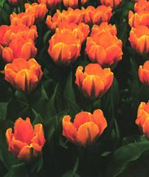 Tulips_tulipa_prinses_irene_princess_irene-1.full