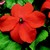 Impatiens: Impatiens Walleriana, 'Jambalaya™ Orange'