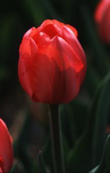 Tulips_tulipa_elizabeth_arden-1.full