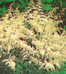 Astilbe, 'White Gloria'