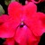 Impatiens_impatiens_walleriana_jambalaya_tm_red-1.small