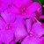 Impatiens_impatiens_walleriana_jambalaya_tm_rose-1.small