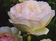 Rose, Antique Tea 'Madame Joseph Schwartz' (1880)