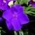 Impatiens_impatiens_walleriana_jambalaya_tm_violet-1.small