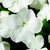 Impatiens_impatiens_walleriana_jambalaya_tm_white-1.small