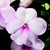 Impatiens_impatiens_walleriana_shimmer_tm_bright_eye-1.small