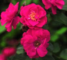 Rose, Antique Climbing 'Will Scarlet' (1948)