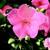 Impatiens_impatiens_walleriana_shimmer_tm_coral-1.small