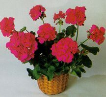 Geranium, Zonal 'Patriot Cherry Rose'