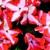 Impatiens_impatiens_walleriana_shimmer_tm_coral_star-1.small