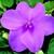 Impatiens_impatiens_walleriana_shimmer_tm_lavender-1.small