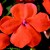Impatiens: Impatiens Walleriana, 'Shimmer™ Orange'