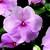 Impatiens_impatiens_walleriana_shimmer_tm_pink-1.small