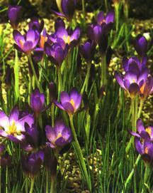 Crocus, Spring Flowering 'Whitewell Purple'