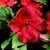 Impatiens_impatiens_walleriana_shimmer_tm_red-1.small