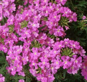 Verbena, Babylon™ 'Lilac'
