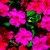 Impatiens_impatiens_walleriana_shimmer_tm_rose-1.small