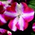 Impatiens_impatiens_walleriana_shimmer_tm_rose_star-1.small