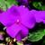 Impatiens_impatiens_walleriana_shimmer_tm_violet-1.small