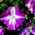 Impatiens_impatiens_walleriana_shimmer_tm_violet_star-1.small