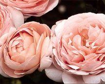 Rose, English Standard Tree-form 'Ambridge Rose' (Austin 1990)
