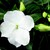 Impatiens_impatiens_walleriana_shimmer_tm_white-1.small