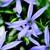Annuals: Laurentia Axillaris, 'Starshine™ Blue'