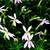 Annuals: Laurentia Axillaris, 'Starshine™ Pink'