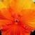 Pansies: Viola X Wittrockiana, 'Clear Sky™ Deep Orange'