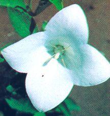 Balloon Flower, 'Albus'