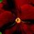 Pansies: Viola X Wittrockiana, 'Clear Sky™ Red'