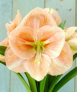 Amaryllis, Large Flowering 'Sandra'