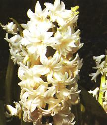 Hyacinth, Dutch Double 'Ben Nevis'