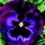 Pansies: Viola X Wittrockiana, 'Colossus™ Neon Violet'