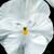 Pansies: Viola X Wittrockiana, 'Colossus™ White'