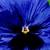 Pansies: Viola X Wittrockiana, 'Delta™ Blue Blotch'