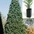 Redwood: Sequoiadendron giganteum