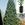 Redwood_sequoiadendron_giganteum-1.sprite