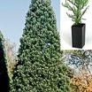 Redwood_sequoiadendron_giganteum-1.thumb