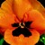 Pansies_viola_x_wittrockiana_delta_tm_orange_blotch-1.small