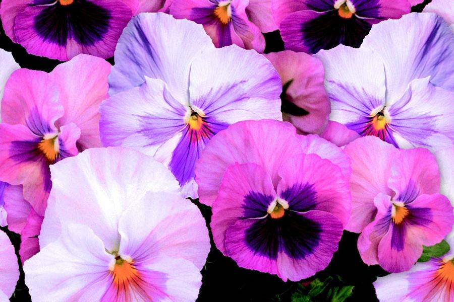 Pansies_viola_x_wittrockiana_delta_tm_pink_shades-1.full